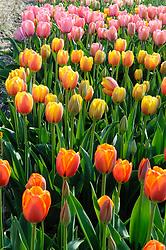 mixed colors Tulips, Tulipa, diverse kleuren tulp, tulpen, Holland, Netherlands