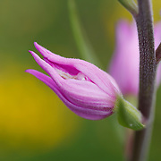 Red Helleborine, Cephalanthera rubra, orchid detail with flower buds