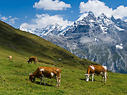 """Cows graze an alpine pasture in Sefinental across from Jungfrau mountain (13,600 feet) and the Lauterbrunnen Wall in Berner Oberland, Switzerland, the Alps, Europe. UNESCO lists """"Swiss Alps Jungfrau-Aletsch"""" as a World Heritage Area (2001, 2007). Published in Ryder-Walker Alpine Adventures """"Inn to Inn Alpine Hiking Adventures"""" Catalog 2007-2009, 2011, 2012, 2013."""