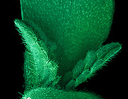 A cannabis seedling showing the first set of true leaves. Imaged with a scanning electron microscope (SEM). False color has been applied. The marijuana plant produces tetrahydrocannabinol (THC), the active component of cannabis when used as a drug. The filed of view in this image is 5 mm wide.