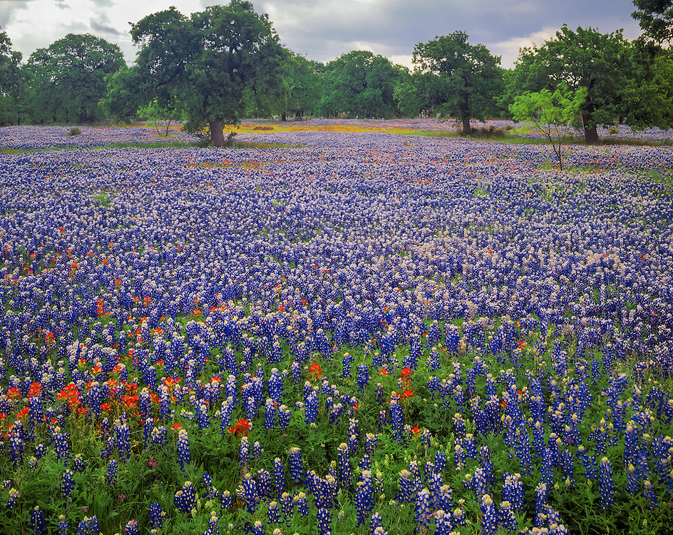 Field of bluebonnets with distant oak trees, Llano County, TX