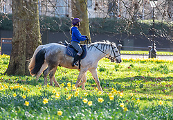 """© Licensed to London News Pictures. 24/02/2021. London, UK. Riders exercise their horses in the sunshine and mild temperatures this morning in Hyde Park, London as weather forecasters predict a warm and sunny week ahead with highs of 17c in London today. This week, Prime Minister Boris Jonson announced his """"Roadmap Map' out of Lockdown with a gradual easing of Covid-19 restrictions with shops, pubs and gyms to open by April, Rule of Six and schools back by March and nightlife back by June. Photo credit: Alex Lentati/LNP"""