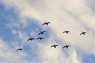 Middletown, New York  - Canada geese at Monhagen Reservoir on  Feb. 23, 2014.