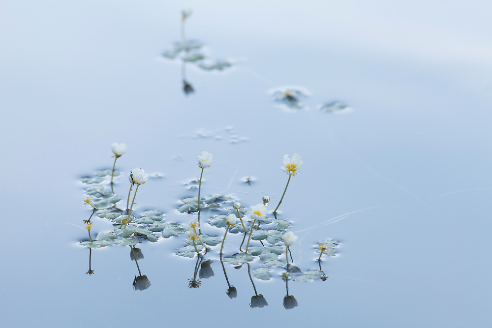 Pond water crowfoot in water with reflection