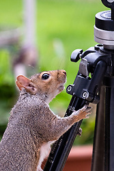 A Grey Squirrel (Scientific name Sciurus Carolinensison) tentatively climbs on a camera tripod during a brief visit to a small Sheffield suburban garden.<br /> <br /> 25th September 2021<br /> <br /> www.pauldaviddrabble.co.uk<br /> All Images Copyright Paul David Drabble -<br /> All rights Reserved -<br /> Moral Rights Asserted -