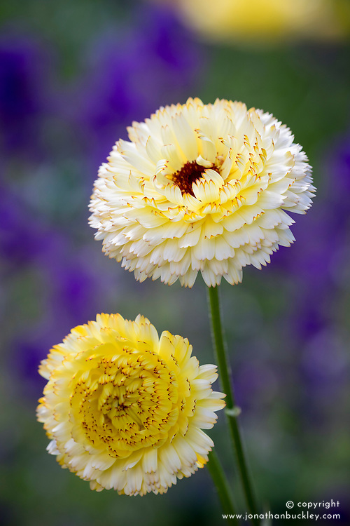 Calendula officinalis 'Snow Princess' - English Marigold, Pot Marigold.