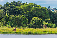 Giraffes, Along the Nile RIver in Murchison Falls National Park, Uganda.