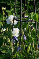 Rosa 'Iceberg' and Clematis on a metal support in the blue and white garden at Cothay Manor, Greenham, Wellington, Somerset, UK