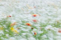 Abstract of wildflowers in field, Stella Rowan Prairie, Fort Worth, Texas. USA.