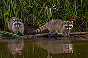 Two raccons (Procyon lotor) forage at the edge of Carp Pond in the Union Bay Natural Area, Seattle, Washington.