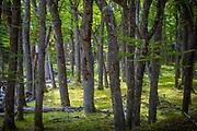 Tree trunks in forest near El Chalten, Patagonia, Argentina