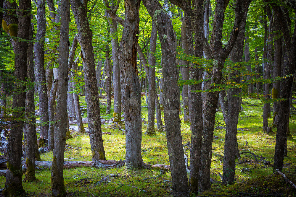 Tree trunks in forest near El Chalten, Patagonia, Argentina