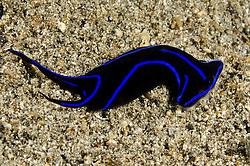 Blue Velvet Headshield Slug, Chelidonura varians, Pulau Kawula, Alor region, Indonesia