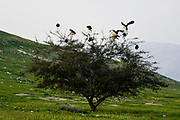 A flock of storks are nesting on an Acacia tree for the night. Photographed in the Jordan Rift Valley, Israel in March