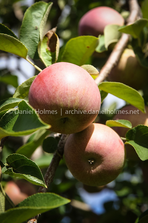 (9/14/15, FRANKLIN, MA) MacIntosh apples at Fairmount Fruit Farm  in Franklin on Monday. U-pick is open at the farm Monday through Friday from 1 p.m.  to 5 p.m. and on Saturday and Sunday from 10 a.m. to 4 p .m. Daily News and Wicked Local Photo/Dan Holmes