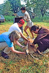 Taking Vital Signs Of Deer