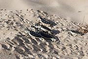 Australian flatback sea turtle hatchlings ( Natator depressus ) (c-r), crawl out of nest pit, Crab Island, off Cape York Peninsula, Torres Strait, Queensland, Australia