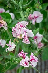 Lathyrus odoratus 'Balcony Purple' - sweet pea - in a container