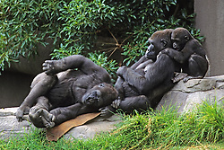 Gorillas & Baby, Franklin Park Zoo