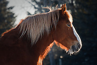I really liked how the sunlight glowed from behind the horse's neck, especially when it exhaled and the mist from its breath lit up too...©2009, Sean Phillips.http://www.Sean-Phillips.com