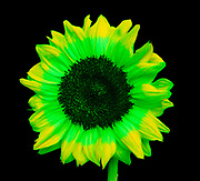 """A Sunflower seen in one form of simulated """"bee vision"""" or insect vision. Since many insects have vision that ranges from the yellow to the ultraviolet part of the spectrum, this image has been adjusted to have the areas of highest reflectivity in the green part of the spectrum. This sunflower image shows the different patterns on the flower petals as perceived by insects that can see well into the ultraviolet region of the spectrum. These special patterns that have evolved to attract insects to the flower are called honey guides. This image is part of a series showing the same flower in ultraviolet (UV) radiation, visible light, insect vision, and simulated bee vision."""