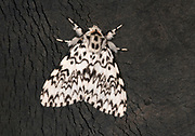 Close-up of a male black arches moth (Lymantria monacha) resting on an old tractor tyre in a Norfolk farmyard in summer
