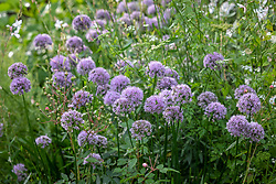 Allium senescens 'Summer Beauty'