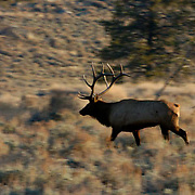 Elk, (Cervus canadensis) A bull in rut charging around trying to keep harem of cows from running off. Yellowstone National Park. Fall.