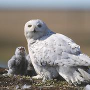 Snowy owl adult at a nest with chicks. Barrow, Alaska