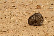 Desert Hedgehog or Ethiopian Hedgehog (Paraechinus aethiopicus) Rolled up for protection. Photographed in the desert in Israel. This hedgehog is an omnivore and has been known to eat a wide range of invertebrates, but prefers earthworms, slugs and snails. It will also eat frogs, small reptiles, young birds and mice, carrion, bird eggs, acorns and berries. it is mainly a nocturnal animal