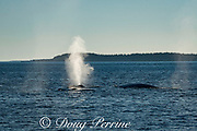 fin whales or finback whale, Balaenoptera physalus, spouting or blowing, off Grand Manan Island, Bay of Fundy, New Brunswick, Canada ( North Atlantic Ocean )
