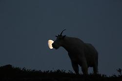 Three quarter Moon, Mountain Goat, night, Glacier National Park
