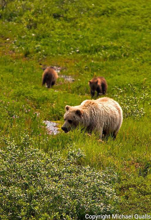 An Alaska Brown Bear family.  Mom and her two cubs.  From the Tek bus, Denali, NP.  USA.