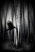 Flying raven in front of a dark abstract forest<br /> Redbubble prints --> https://rdbl.co/2GhDYEj