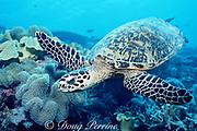 hawksbill sea turtle, Eretmochelys imbricata, Critically Endangered Species, swims over coral reef, Layang Layang Atoll, Malaysia ( South China Sea )
