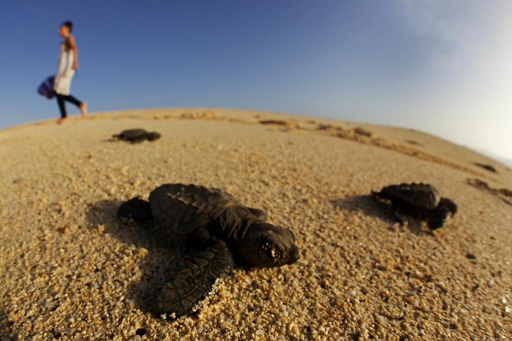 15/Septiembre/2014 Cabo Verde. Boa Vista.<br /> Crías de tortuga Carettha carettha se dirigen al mar después de eclosionar el nido en la playa de Joao Barrosa.<br /> <br /> © JOAN COSTA