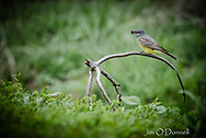 Western Kingbird captured at Maxwell National Wildlife Refuge, New Mexico in May 2019