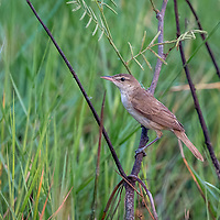 The Oriental reed warbler (Acrocephalus orientalis) is a passerine bird of eastern Asia belonging to the reed warbler genus Acrocephalus. It was formerly classified as a subspecies of the great reed warbler (A. arundinaceus).