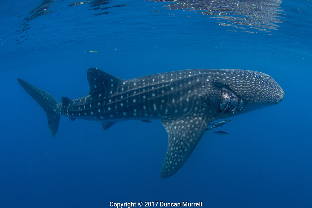 Whale shark, Rhincodon typus, with injury possibly from a boat's propellor, Honda Bay, Palawan, the Philippines, Sulu Sea