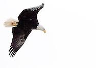 Bald Eagle (Halietus leucocephalus) in flight