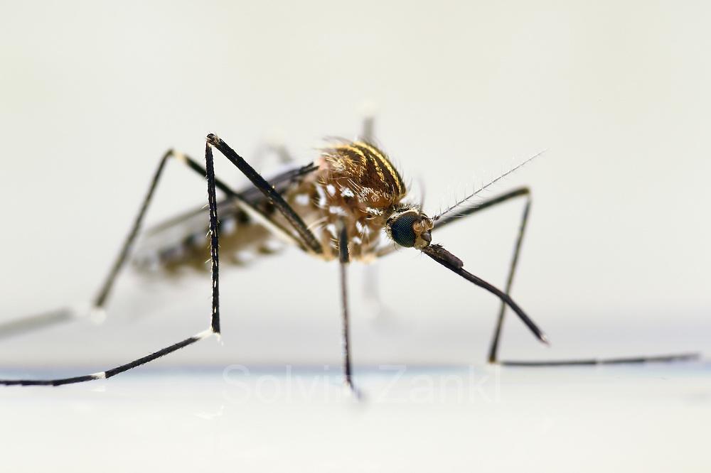 Mosquito (Ochlerotatus japonicus) adult, Invasive Species, Freiburg, Germany   Weibchen der Japanische Buschmücke (Ochlerotatus japonicus) Freiburg, Deutschland