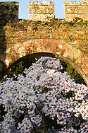 Magnolia 'Caerhays Belle' framed by a stone arch at Caerhays Castle, Cormwall, UK