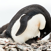 An Adelie penguin feeds its chick on a nest at a rookery on Petermann Island, Antarctica.