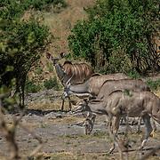 20211003 Maun Botswana <br /> Moremi nationalpark Okavangodeltat<br /> Kudu antiloper<br /> <br /> <br /> ----<br /> FOTO : JOACHIM NYWALL KOD 0708840825_1<br /> COPYRIGHT JOACHIM NYWALL<br /> <br /> ***BETALBILD***<br /> Redovisas till <br /> NYWALL MEDIA AB<br /> Strandgatan 30<br /> 461 31 Trollhättan<br /> Prislista enl BLF , om inget annat avtalas.
