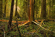 A western red cedar (Thuja plicata) tree lies violently splintered apart (possibly by a lightning strike) in the old-growth forest along Marymere Falls Trail, Olympic National Park, Washington.