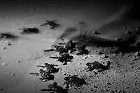 Baby turtle hatchlings trek down the beach towards the water.