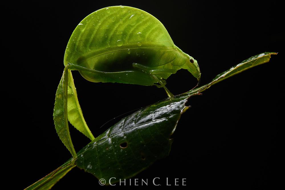 Leaf-legged Katydid (Eulophophyllum lobulatum), female. Mount Kinabalu National Park, Sabah, Malaysia (Borneo).