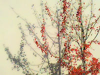 """A red maple tree in autumn color casts a monochrome gray shadow on a wall. The title """"Echos have no color"""" refers to the gray shadow cast on the wall."""