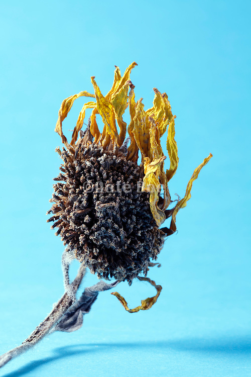 wilted little sunflower head with dried up yellow petals