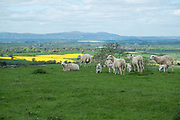 Freshly born Spring lambs countryside near Great Comberton at Bredon Hill in Worcestershire, England, United Kingdom.